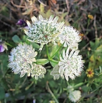 Storstjerneskjerm Astrantia major