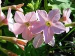 Blomstertobakk