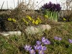 Iris, vinterblomst og krokus