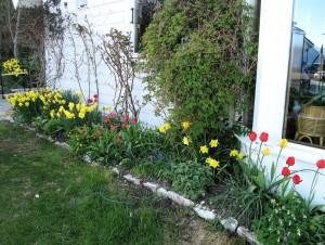 Flest påskeliljer og noen få tulipaner