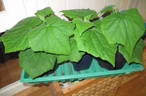 agurkplanter