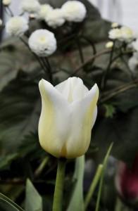 hvit-tulipan