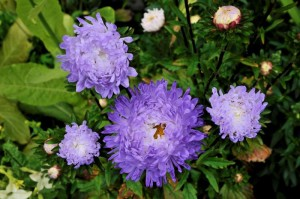 Sommerasters Silvery Blue