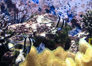 Pteroapogon kauderni