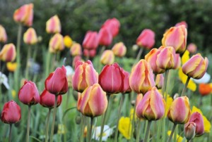 tulipannatt 300x202 Natt i Bodø