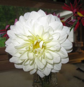 "Dahlia ""Decorative Giants"""