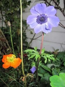 anemone coroniara 225x300 Frost
