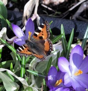 sommerfugl3 290x300 sommerfugl