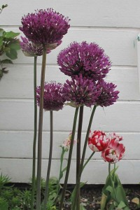 Allium Purple Sensation 200x300 Allium Purple Sensation