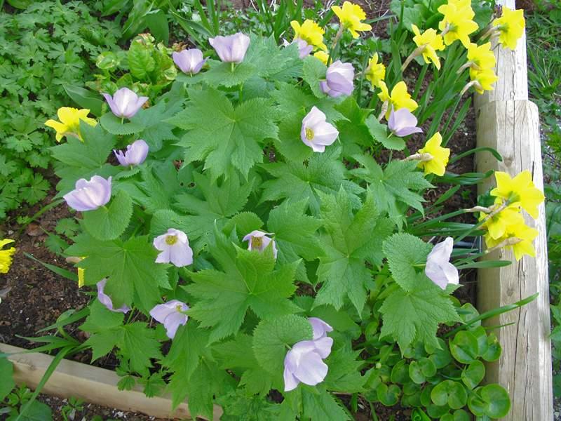Vanskelig å få frem den vakre lillafargen på blomstene