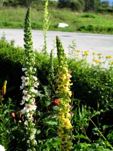 "Verbascum chaixii f. album ""Wedding Candles"" Franskt kongslys"