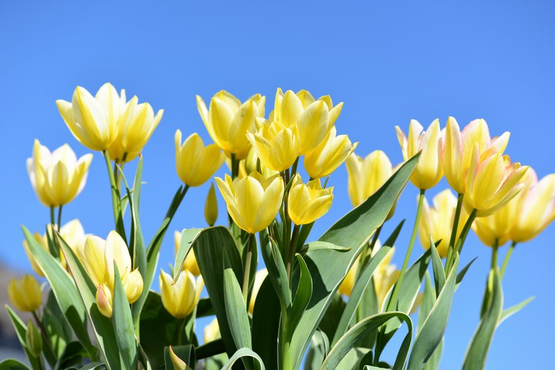 Flerblomstret tulipan